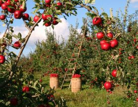 Using Up Your Orchard Picked Apples